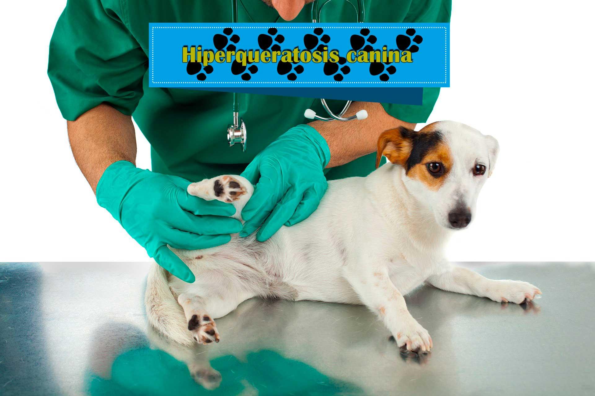 ¿Qué es la hiperqueratosis canina?