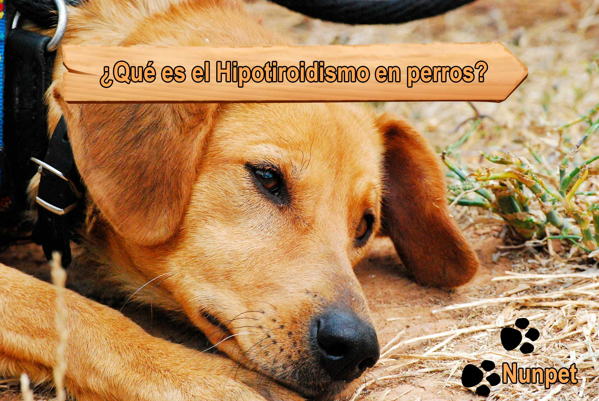 ¿Qué es el Hipotiroidismo en perros?
