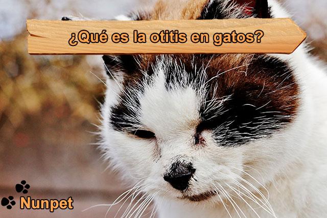 ¿Qué es la otitis en gatos?